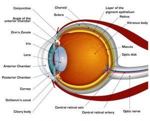 how your eyes work, Eyes – how your eyes work